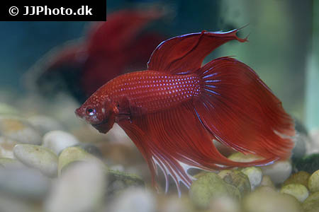 Betta splendens XL