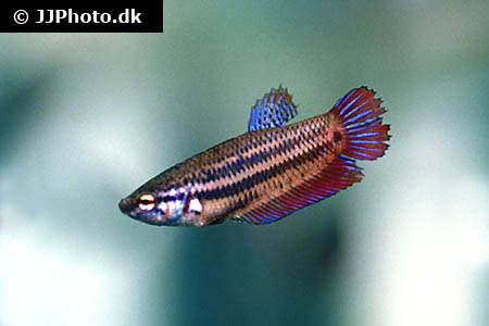 "Betta splendens ""female"""
