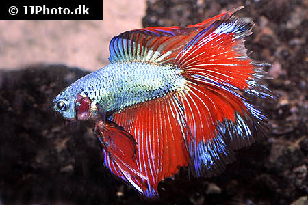 "Betta splendens ""halfmoon"" XL"