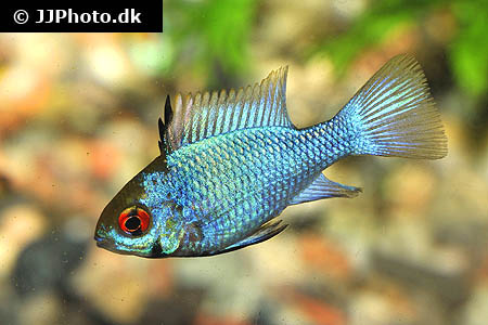 "Mikrogeophagus ramirezi ""electric blue long fin"""