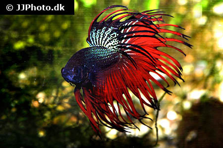 "Betta splendens ""crowntail"" XL"