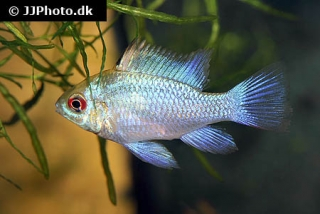 "Mikrogeophagus ramirezi ""electric blue"""